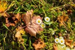 白色春黄菊开花,并且色的干燥秋天在地面上留下说谎 图库摄影