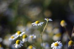 白色春黄菊花在一个晴天 库存图片