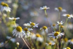 白色春黄菊花在一个晴天 免版税库存照片