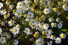 白色春黄菊花在一个晴天 免版税库存图片