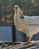 白色有斑点的自由放养的母鸡 库存照片