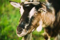 年轻白色有角山羊嚼 免版税库存图片