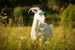 白色有角的山羊在一个绿色草甸吃草 库存照片
