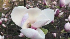 白色木兰在庭院里 股票视频