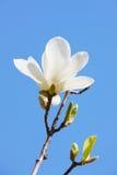 白色木兰在春天 库存图片
