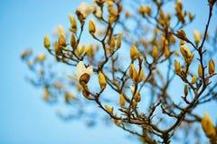 白色木兰树开花 库存照片