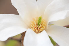 白色木兰树开花 免版税图库摄影
