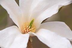 白色木兰树开花 库存图片