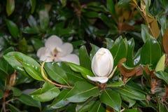白色木兰花特写镜头,在它的树中绿色叶子  库存照片