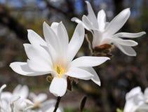 白色木兰花 免版税图库摄影
