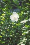白色木槿开花中国罗斯花,锦葵科 库存照片