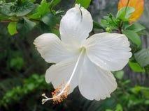 白色木槿花特写镜头 图库摄影