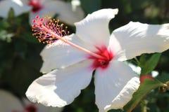 白色木槿花-锦葵科 免版税库存图片