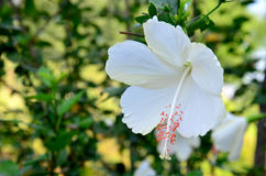 白色木槿rosasinensis 免版税库存图片