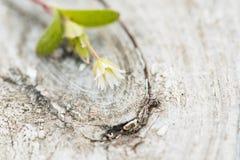 白色木葡萄酒背景 在树的一朵小花 选择聚焦 仿照wabi sabi样式 免版税库存照片