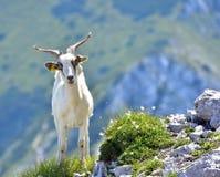 白色本国山羊画象  免版税库存照片