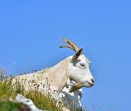 白色本国山羊高在小山 库存图片