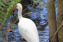 白色朱鹭在泥沼 库存图片