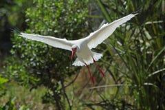 白色朱鹭飞行为一次着陆在佛罗里达 免版税库存图片