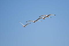 白色朱鹭飞行形成 库存图片