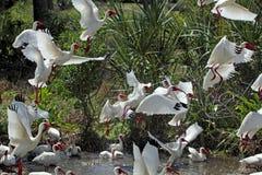 白色朱鹭离开在佛罗里达的一个小组 免版税库存图片