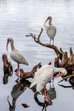 白色朱鹭Eudocimus albus,湖Eola公园,街市奥兰多,佛罗里达 库存照片