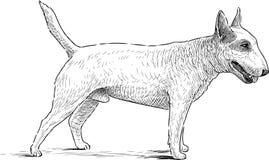 白色杂种犬 库存图片
