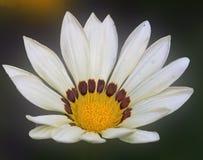 白色杂色菊属植物 图库摄影
