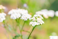 白色杂草花本质上 库存图片