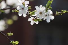 白色李子开花和被弄脏的细节美好的春天背景  免版税图库摄影