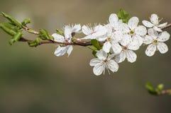 白色李子美丽的春天特写镜头开花有被弄脏的背景 免版税库存照片