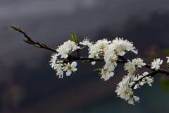 白色李属salicina在高山越南开花 免版税库存图片