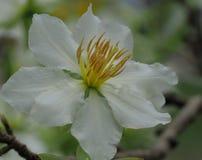 白色杏子开花 库存图片