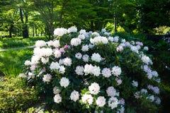 白色杜鹃花,球女王/王后在庭院里,植物园 免版税库存照片