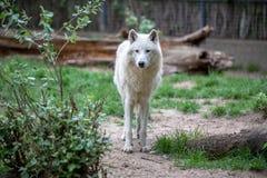 白色极性狼在柏林动物园里  免版税库存照片