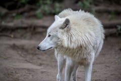 白色极性狼在柏林动物园里  库存图片