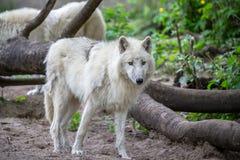 白色极性狼在柏林动物园里  免版税库存图片