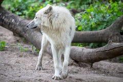 白色极性狼在柏林动物园里  图库摄影