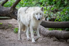 白色极性狼在柏林动物园里  库存照片