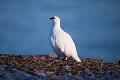 白色极性鹧在一个晴朗的冬日在斯瓦尔巴特群岛群岛,北极鸟 库存照片