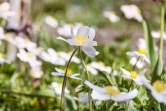 白色柔和的山开花背景 免版税库存图片