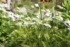 白色柔和的山开花背景 免版税库存照片