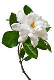 白色栀子花被隔绝的分支 免版税库存图片