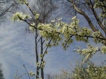 白色树开花 免版税库存图片