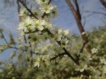 白色树开花 免版税库存照片