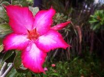 白色桃红色花在庭院里 免版税库存照片