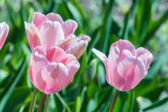 白色桃红色郁金香在自然环境里高兴在阳光下和昆虫 免版税库存图片