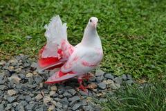白色桃红色鸽子坐绿草 免版税图库摄影