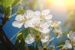 白色梨开花分支开花在春天太阳的,宏指令 免版税库存照片