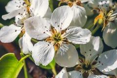 白色梨开花分支开花在春天太阳的,宏指令 库存照片